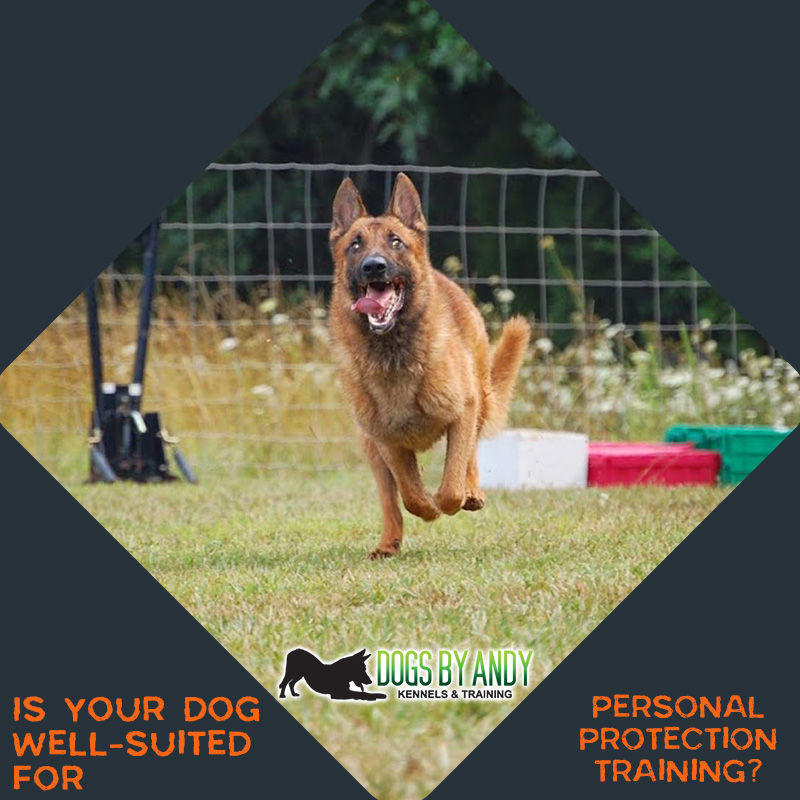 Is Your Dog Well-Suited for Personal Protection Training?