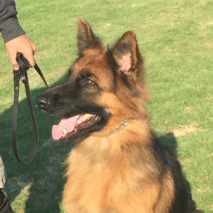 On-Leash Training in Mooresville, North Carolina